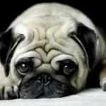 498962 fotos de caes da raca pug 150x150 Fotos de cães da raça Pug