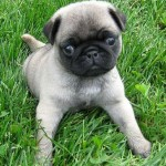 498962 fotos de caes da raca pug 16 150x150 Fotos de cães da raça Pug