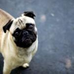 498962 fotos de caes da raca pug 20 150x150 Fotos de cães da raça Pug