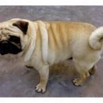 498962 fotos de caes da raca pug 26 150x150 Fotos de cães da raça Pug