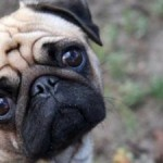 498962 fotos de caes da raca pug 3 150x150 Fotos de cães da raça Pug