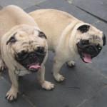 498962 fotos de caes da raca pug 30 150x150 Fotos de cães da raça Pug