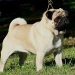 498962 fotos de caes da raca pug 6 150x150 Fotos de cães da raça Pug