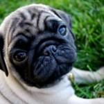 498962 fotos de caes da raca pug 7 150x150 Fotos de cães da raça Pug