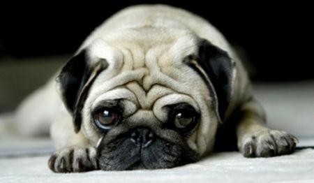 498962 fotos de caes da raca pug Fotos de cães da raça Pug