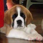 499608 fotos de caes da raça sao bernardo 11 150x150 Fotos de cães da raça São Bernardo