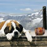 499608 fotos de caes da raça sao bernardo 13 150x150 Fotos de cães da raça São Bernardo