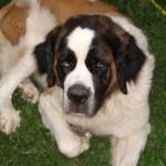 499608 fotos de caes da raça sao bernardo 24 150x150 Fotos de cães da raça São Bernardo