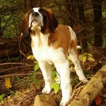 499608 fotos de caes da raça sao bernardo 26 150x150 Fotos de cães da raça São Bernardo