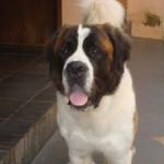 499608 fotos de caes da raça sao bernardo 35 150x150 Fotos de cães da raça São Bernardo