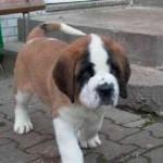 499608 fotos de caes da raça sao bernardo 4 150x150 Fotos de cães da raça São Bernardo