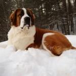 499608 fotos de caes da raça sao bernardo 8 150x150 Fotos de cães da raça São Bernardo