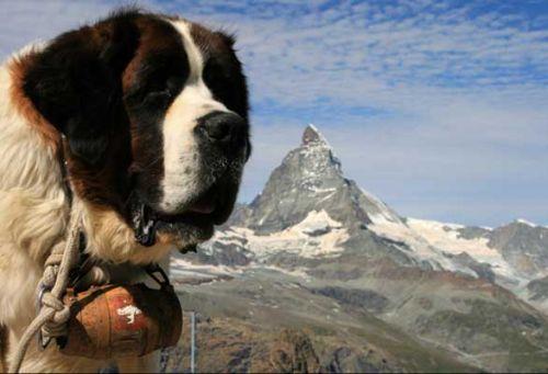499608 fotos de caes da raça sao bernardo Fotos de cães da raça São Bernardo