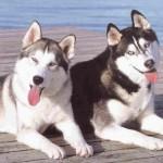 500175 fotos de caes de raça grande 11 150x150 Fotos de cães de raça grande