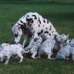 500175 fotos de caes de raça grande 12 150x150 Fotos de cães de raça grande