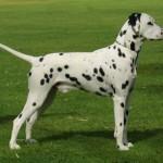 500175 fotos de caes de raça grande 13 150x150 Fotos de cães de raça grande