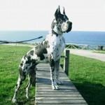 500175 fotos de caes de raça grande 150x150 Fotos de cães de raça grande