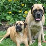 500175 fotos de caes de raça grande 16 150x150 Fotos de cães de raça grande