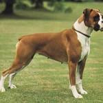 500175 fotos de caes de raça grande 18 150x150 Fotos de cães de raça grande