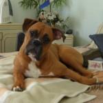 500175 fotos de caes de raça grande 19 150x150 Fotos de cães de raça grande