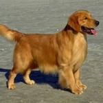 500175 fotos de caes de raça grande 20 150x150 Fotos de cães de raça grande