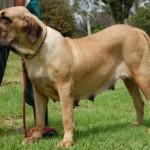 500175 fotos de caes de raça grande 22 150x150 Fotos de cães de raça grande