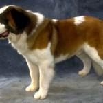 500175 fotos de caes de raça grande 26 150x150 Fotos de cães de raça grande