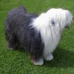 500175 fotos de caes de raça grande 29 150x150 Fotos de cães de raça grande