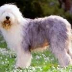 500175 fotos de caes de raça grande 30 150x150 Fotos de cães de raça grande
