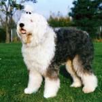 500175 fotos de caes de raça grande 31 150x150 Fotos de cães de raça grande
