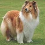 500175 fotos de caes de raça grande 32 150x150 Fotos de cães de raça grande