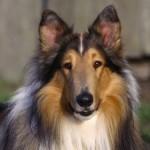 500175 fotos de caes de raça grande 33 150x150 Fotos de cães de raça grande