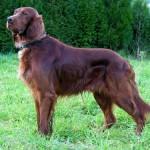 500175 fotos de caes de raça grande 35 150x150 Fotos de cães de raça grande