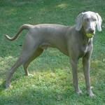 500175 fotos de caes de raça grande 37 150x150 Fotos de cães de raça grande