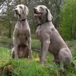 500175 fotos de caes de raça grande 38 150x150 Fotos de cães de raça grande