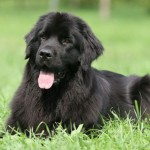 500175 fotos de caes de raça grande 39 150x150 Fotos de cães de raça grande