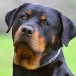 500175 fotos de caes de raça grande 4 150x150 Fotos de cães de raça grande