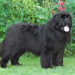 500175 fotos de caes de raça grande 40 150x150 Fotos de cães de raça grande