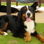 500175 fotos de caes de raça grande 5 150x150 Fotos de cães de raça grande