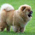 500175 fotos de caes de raça grande 7 150x150 Fotos de cães de raça grande