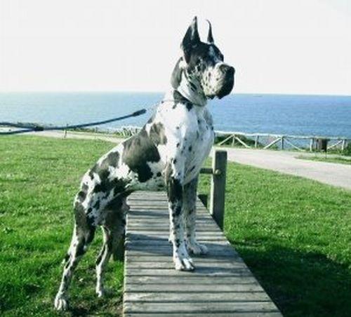 500175 fotos de caes de raça grande Fotos de cães de raça grande