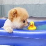 500421 Conheça Boo o cão mais fofo do mundo 1 150x150 Conheça Boo: o cão mais fofo do mundo