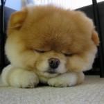 500421 Conheça Boo o cão mais fofo do mundo 11 150x150 Conheça Boo: o cão mais fofo do mundo