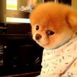 500421 Conheça Boo o cão mais fofo do mundo 12 150x150 Conheça Boo: o cão mais fofo do mundo