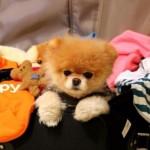 500421 Conheça Boo o cão mais fofo do mundo 13 150x150 Conheça Boo: o cão mais fofo do mundo