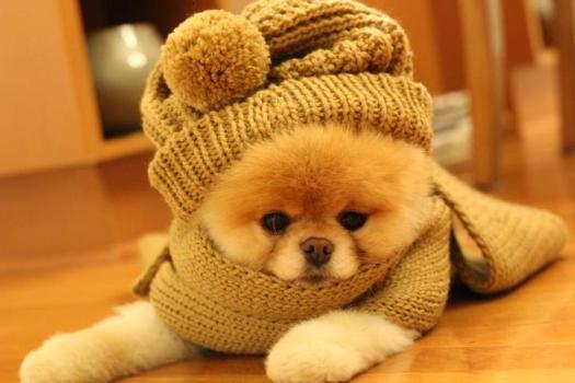 500421 Conheça Boo o cão mais fofo do mundo 16 Conheça Boo: o cão mais fofo do mundo