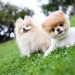 500421 Conheça Boo o cão mais fofo do mundo 18 150x150 Conheça Boo: o cão mais fofo do mundo