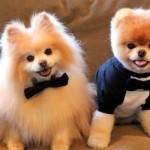 500421 Conheça Boo o cão mais fofo do mundo 19 150x150 Conheça Boo: o cão mais fofo do mundo