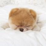 500421 Conheça Boo o cão mais fofo do mundo 2 150x150 Conheça Boo: o cão mais fofo do mundo