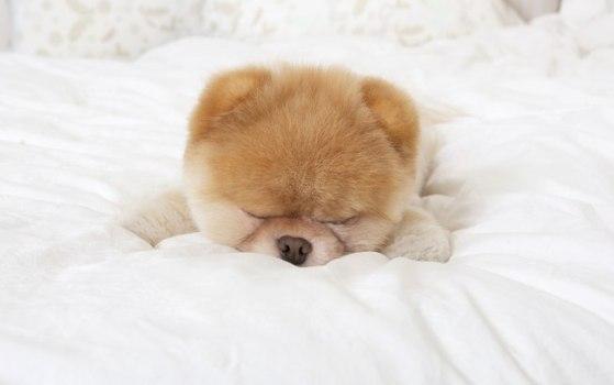 500421 Conheça Boo o cão mais fofo do mundo 2 Conheça Boo: o cão mais fofo do mundo